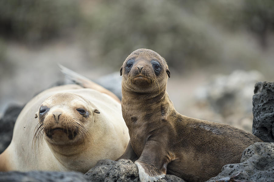 Galapagos Sea Lion And Pup Champion Photograph by Tui De Roy