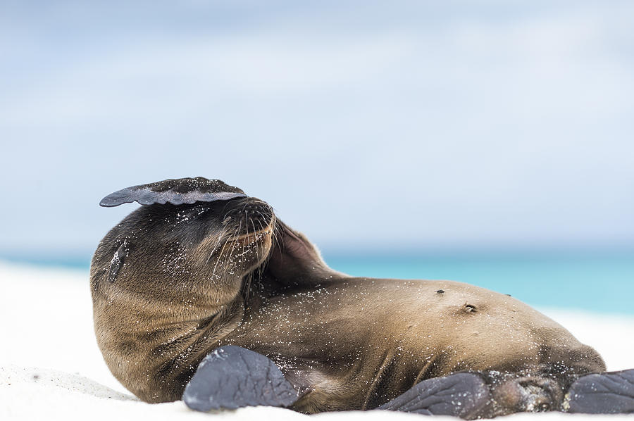 Galapagos Sea Lion Pup Covering Face Photograph by Tui De Roy