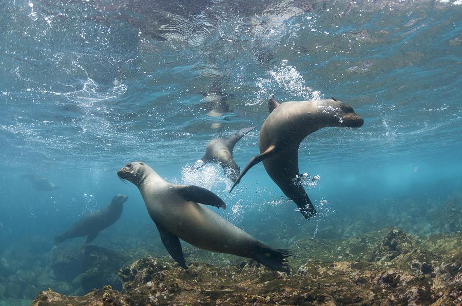Galapagos Sealions Floreana Isl Ecuador Photograph by Tui De Roy