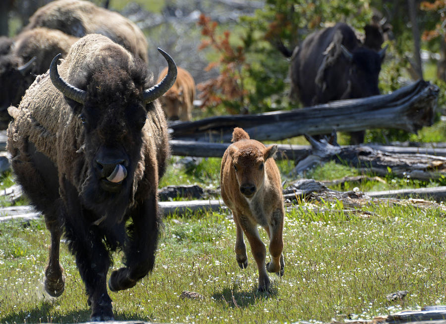 Yellowstone Photograph - Gallopin Bison Mom And Calf by Bruce Gourley
