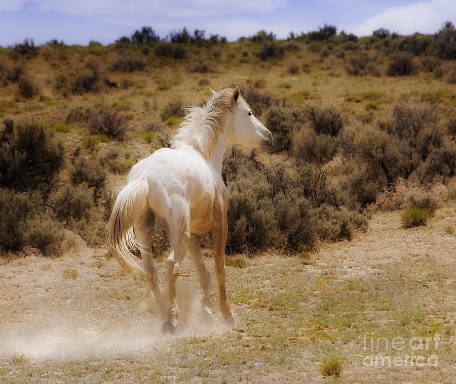 galloping white stallion wild horse on navajo indian reservation