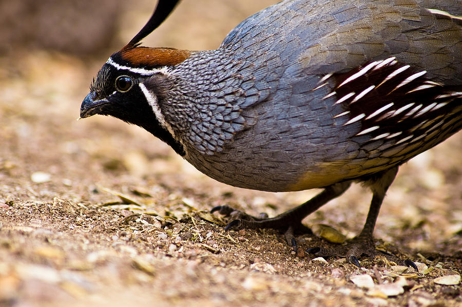 Quail Picture For Kid
