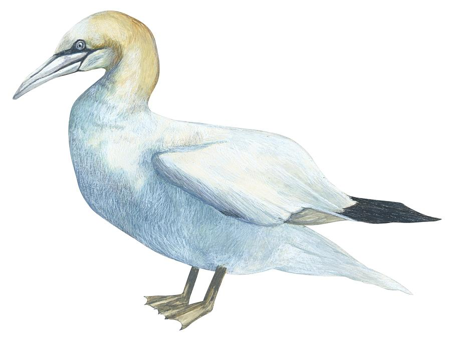 Gannet Drawing - Gannet  by Anonymous