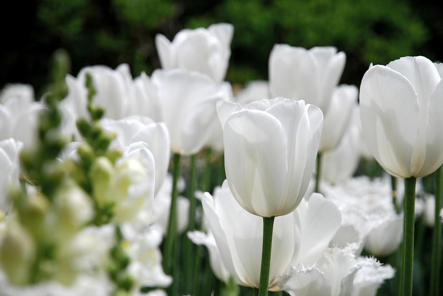 Tulip Photograph - Garden Beauty by Jennifer Ancker