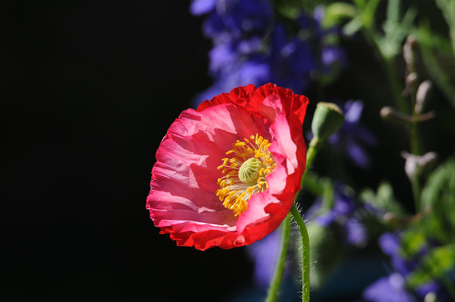 Poppies Photograph - Garden Delight by Lynn Bauer