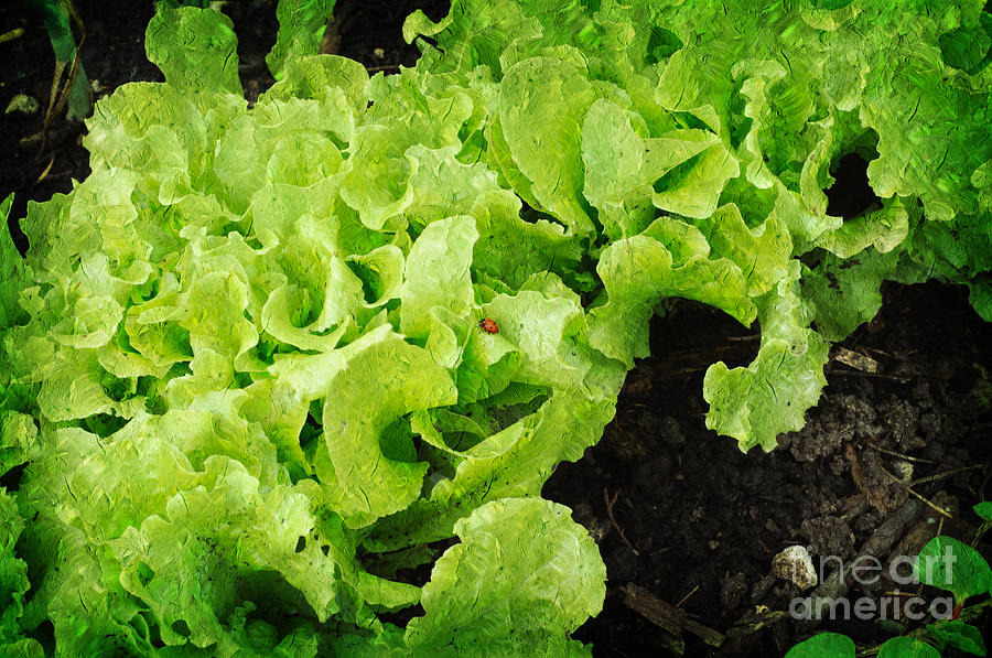 Lettace Photograph - Garden Fresh Baby Lettuce And Lady Bug by Andee Design