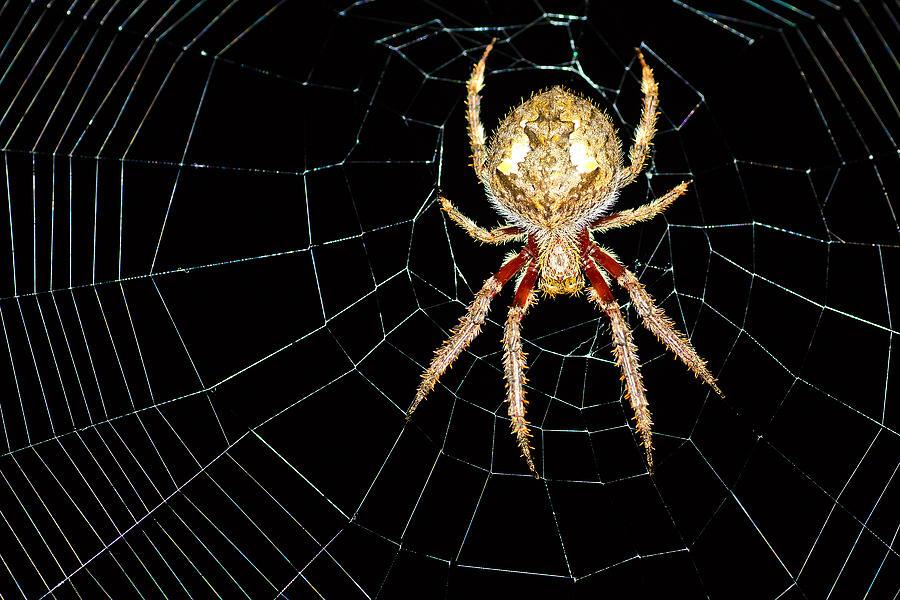 Garden Orb Spider Photograph