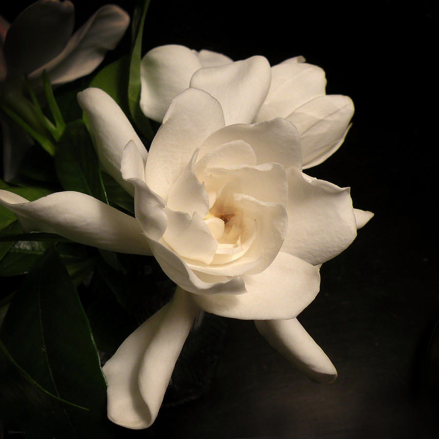 Flower Photograph - Gardenia Blossom by Deborah Smith