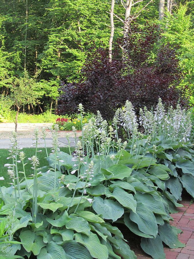 Hostas Photograph - Gardens 111 by Patsy Pratt
