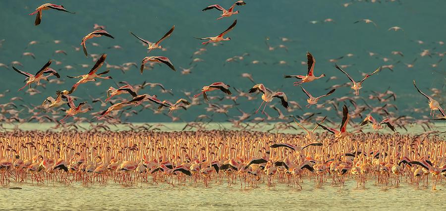 Flamingos Photograph - Gathering In Golden Light by David Hua
