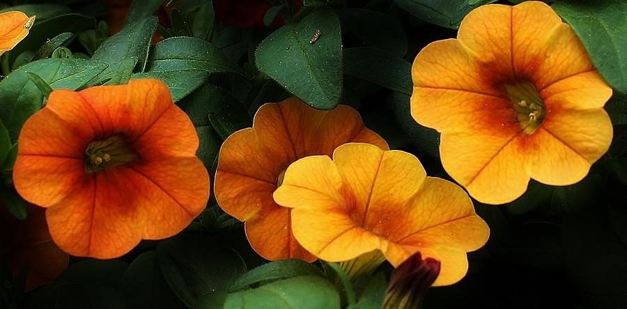 Flora Photograph - Gathering Of Petunias by Bruce Bley