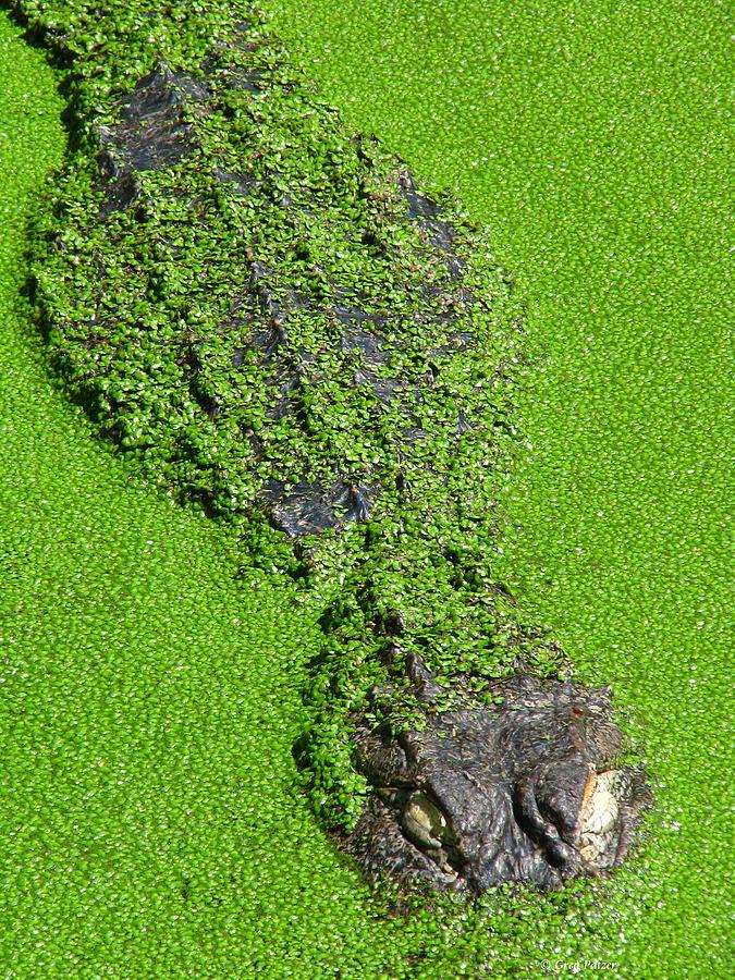 Alligator Photograph - Gator in Green by Greg Patzer