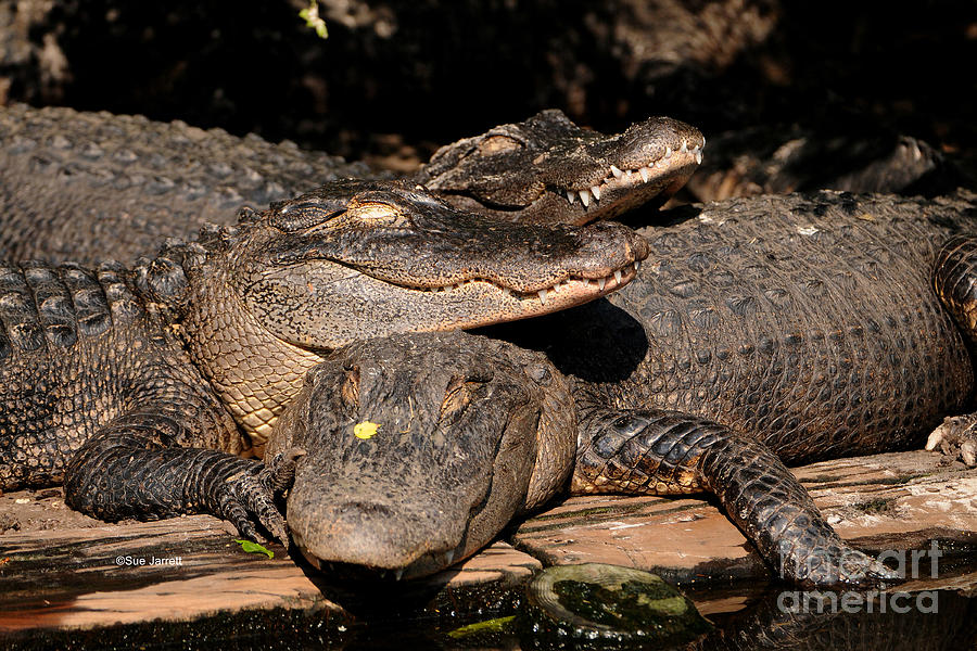 Alligator Photograph - Gator Pals 1 by Sue Jarrett
