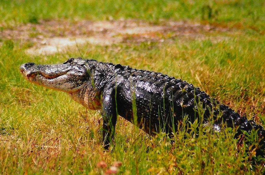 Florida Photograph - Gator Raid by Miles Stites