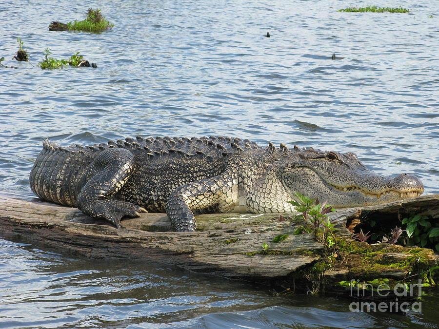 Alligator Photograph - Gator by Tanya Shockman