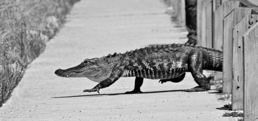 Alligator Photograph - Gator Walking by Cynthia Guinn