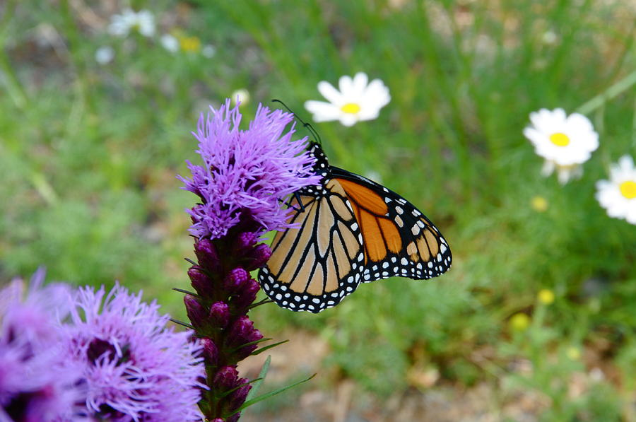 Wildflowers Photograph - Gayfeathers And Butterfly by Sandra Updyke