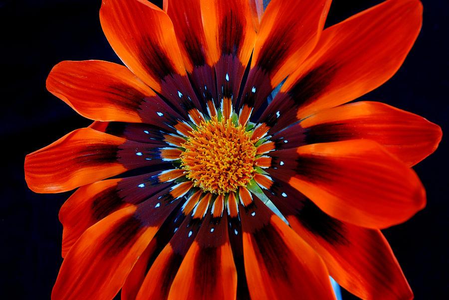 Gazania Photograph - Gazania Flower by Larry Harper