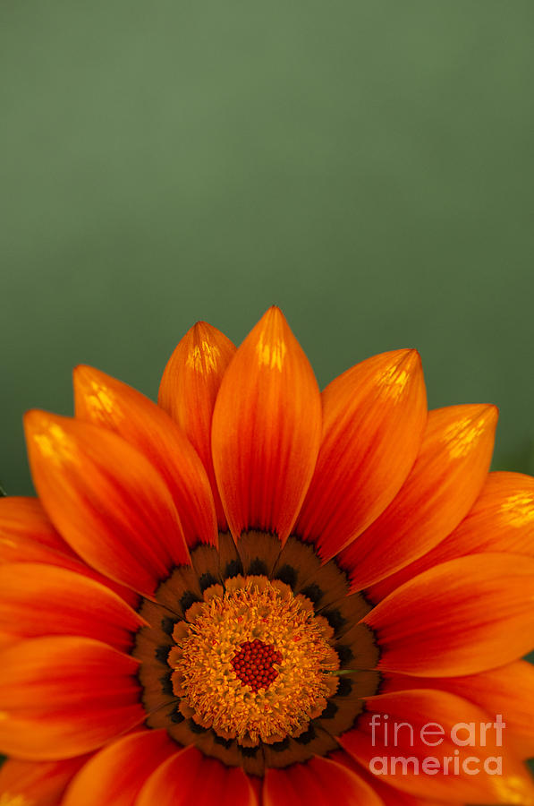 Abstract Photograph - Gazania Rising by Anne Gilbert