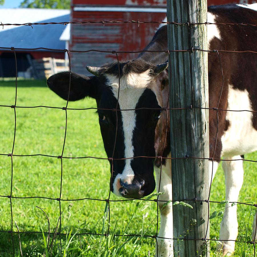 Cow Photograph - Gazer by Tom Druin