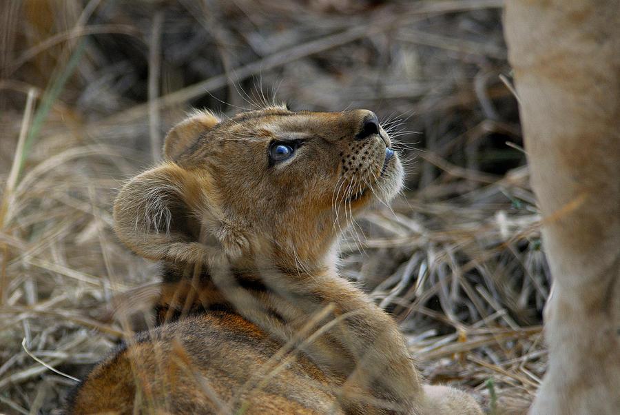 Lion Photograph - Gazing by Stefan Carpenter