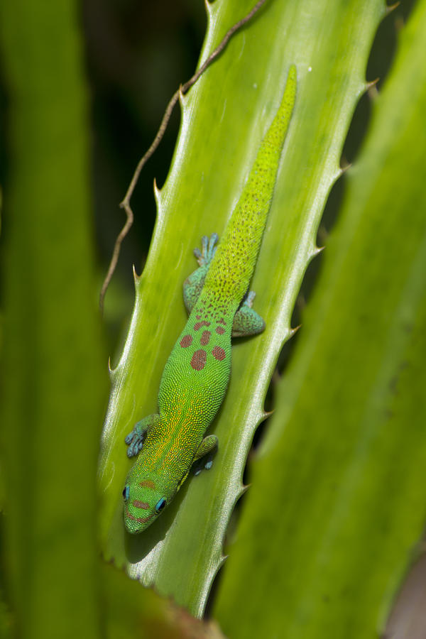 Gecko Photograph - Gecko by Mike Herdering