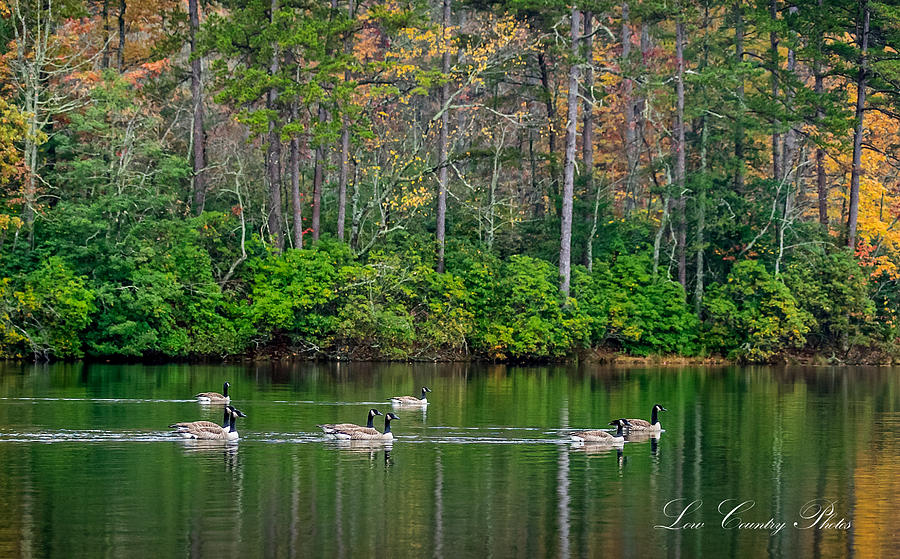 Geese Cruise by Mike Covington