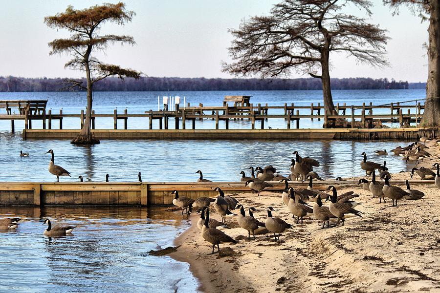 Geese Photograph - Geese Everywhere by Carolyn Ricks