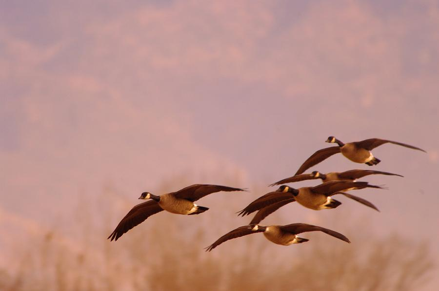 Birds Photograph - Geese Flying Over by Jeff Swan