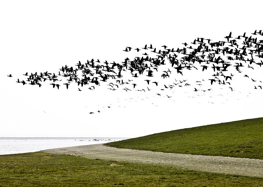 Ameland Photograph - Geese by Frits Selier
