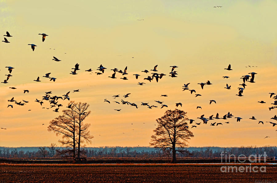 Nature Photograph - Geese In Flight I by Debbie Portwood