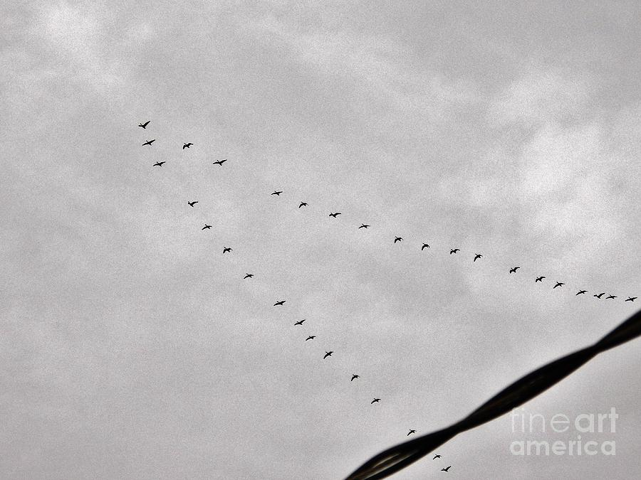 Geese Photograph - Geese by Judy Via-Wolff