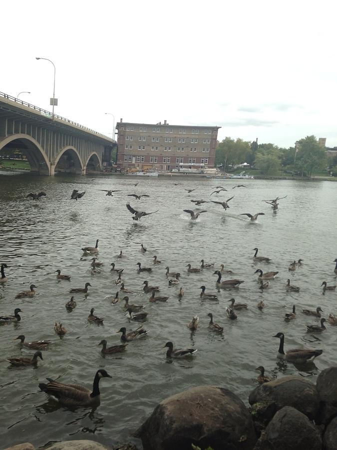 Geese Photograph - Geese Swooping Down by Natalee Parochka