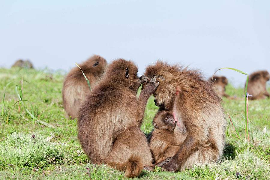 Abyssinia Photograph - Gelada, Gelada Baboon (theropithecus by Martin Zwick