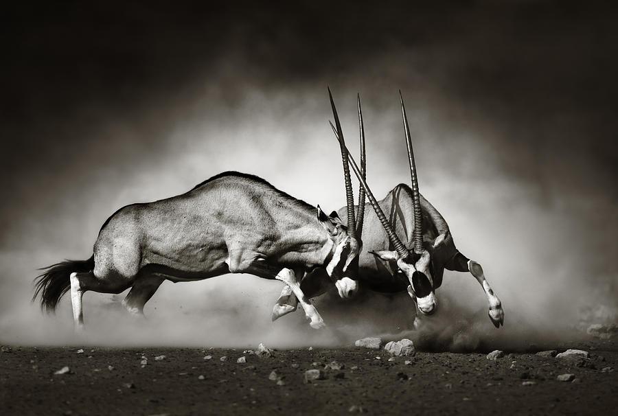 Gemsbok Photograph - Gemsbok fight by Johan Swanepoel