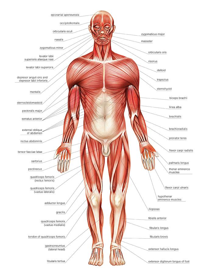 General View Of Muscular System Photograph By Asklepios Medical Atlas