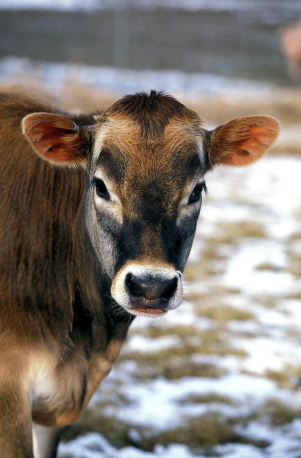 Bos Taurus Photograph - Genetically Modified Cow by Scott Bauer/us Department Of Agriculture/science Photo Library