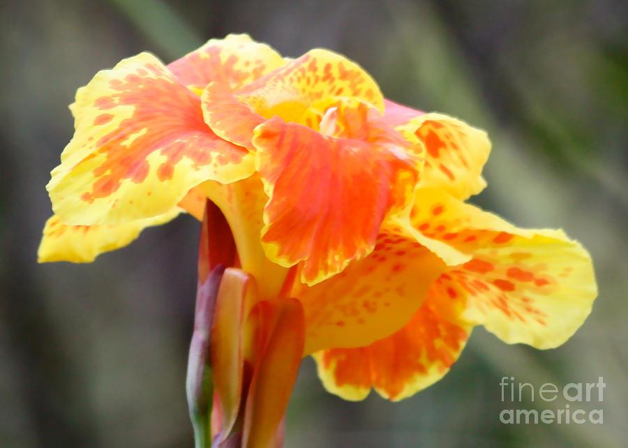 Flower Photograph - Gentle Awakening by Carol Groenen