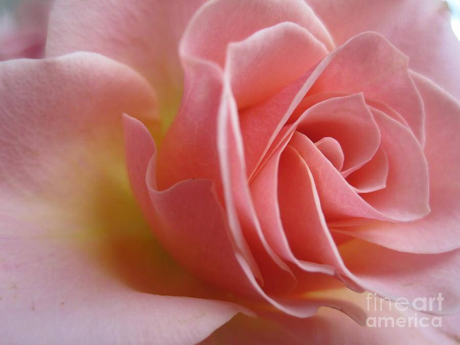 Floral Photograph - Gentle Pink Rose by Tara  Shalton
