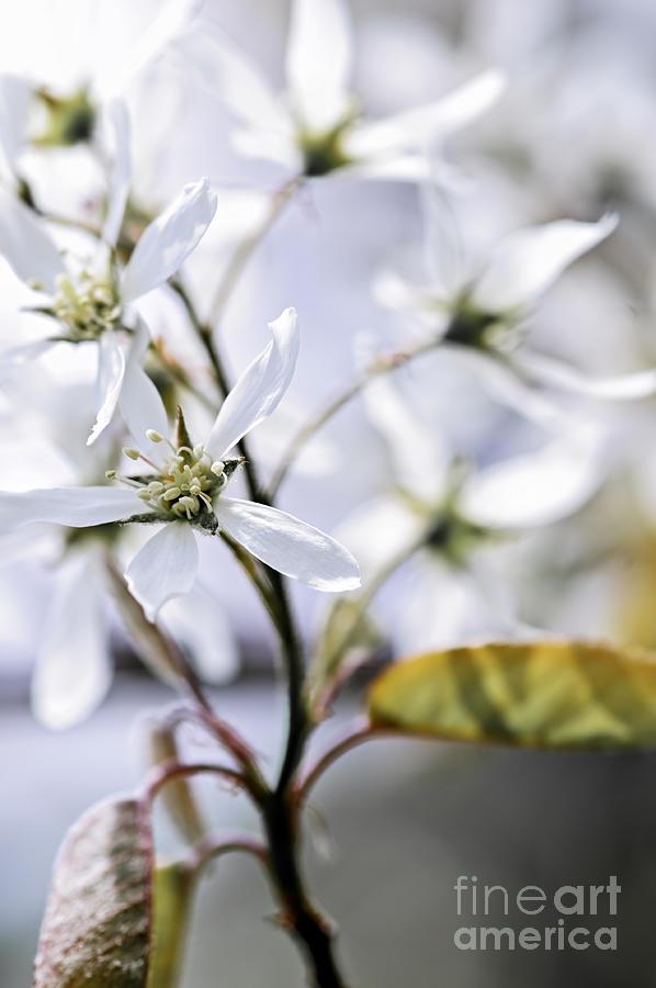White Photograph - Gentle White Spring Flowers by Elena Elisseeva