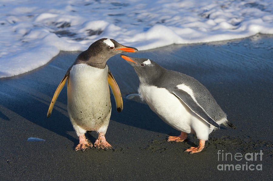 Photo Photograph - Gentoo Penguin Chick Begging For Food by Yva Momatiuk and John Eastcott