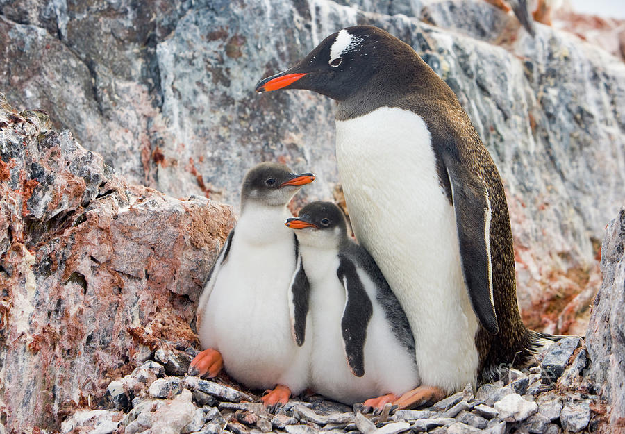 Gentoo Penguin Family  on Booth Isl Photograph by Yva Momatiuk and John Eastcott