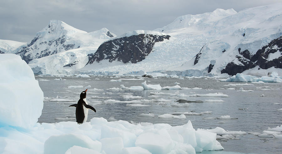 Gentoo Penguin On Ice Floe Antarctica Photograph by Kevin Schafer