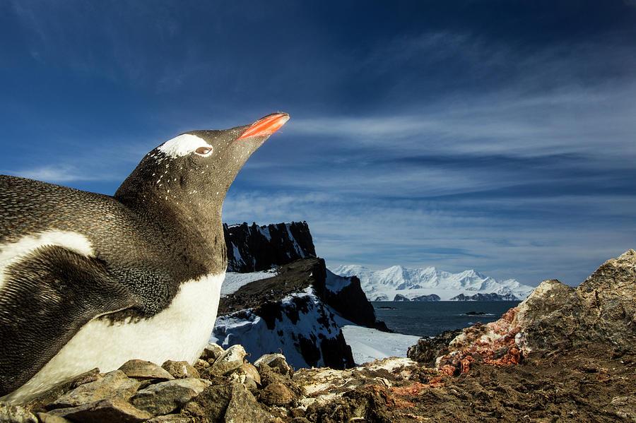 Gentoo Penguin Portrait, Antarctica Photograph by Paul Souders