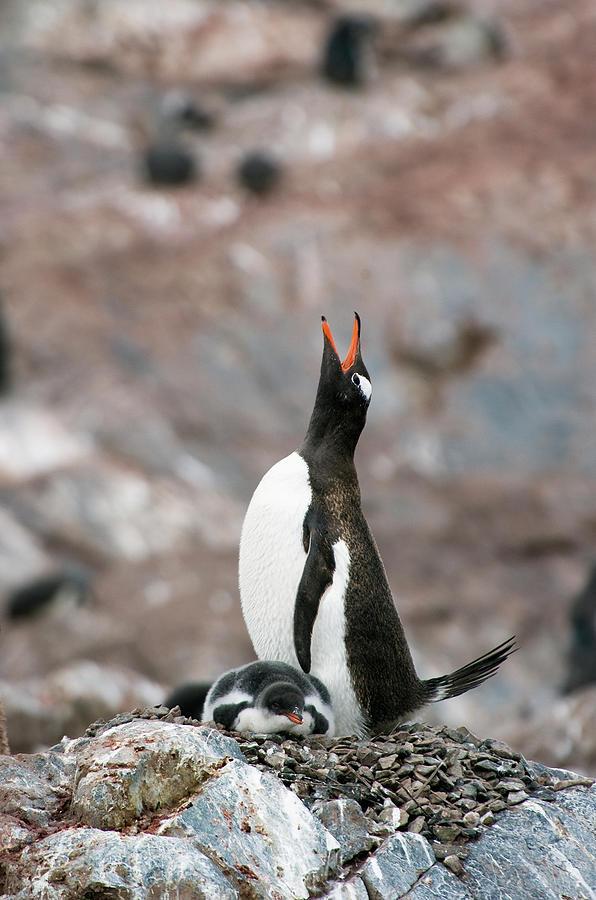 Gentoo Penguin Pygoscelis Papua Photograph by Jim Julien / Design Pics