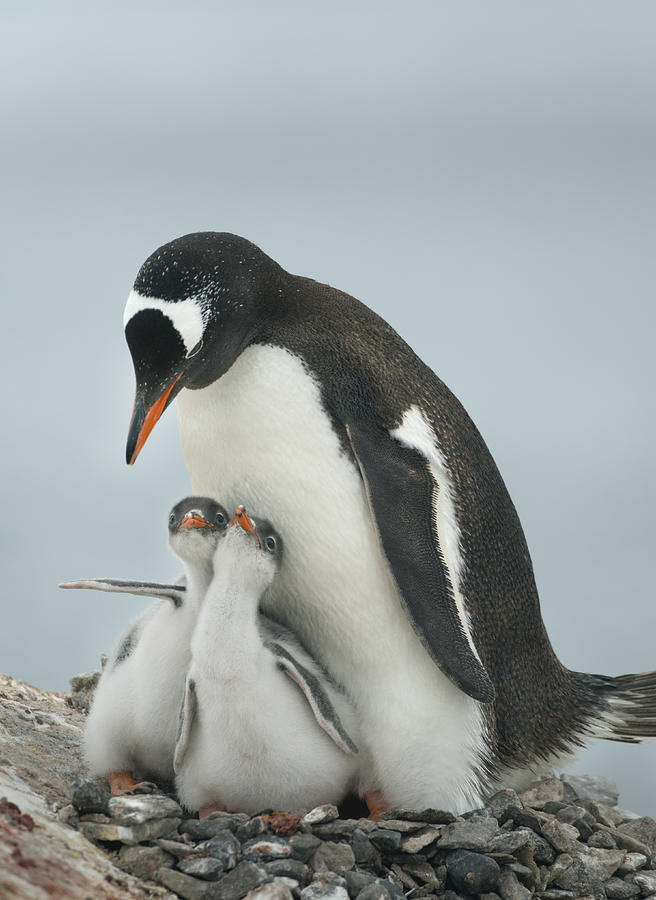 Gentoo Penguin With Chicks Antarctica Photograph by Kevin Schafer