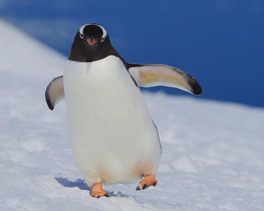 Gentoo Penguin Photograph - Gentoo Waddle by Tony Beck