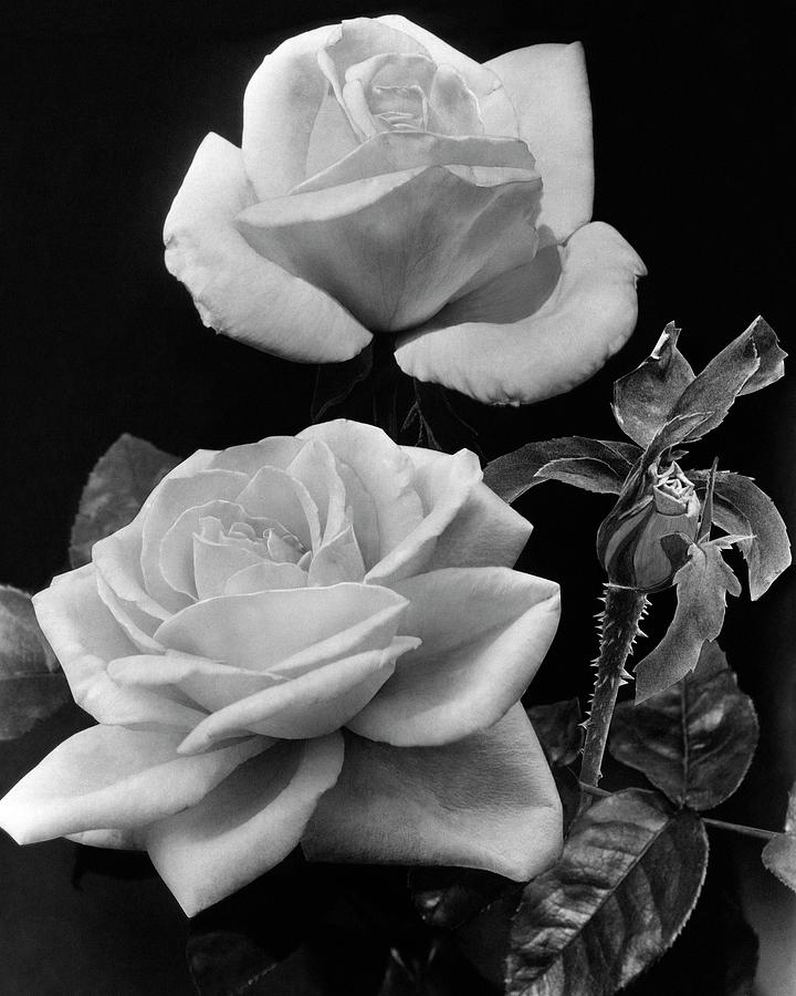 george Arends Roses Photograph by J. Horace McFarland