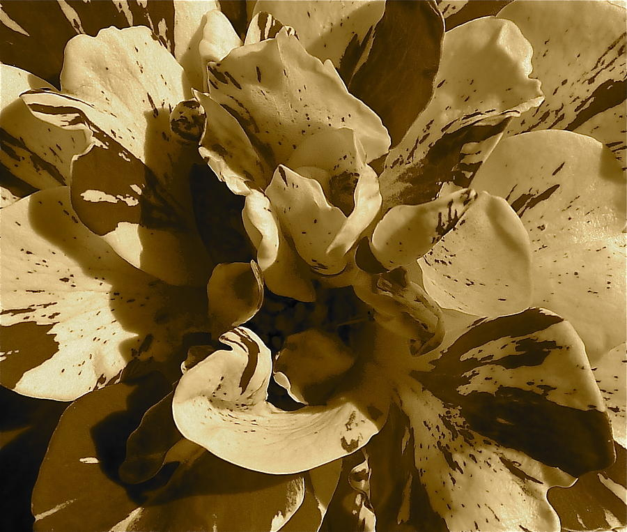 Sepia Photograph - George Burns Rose 2 by Denise Mazzocco