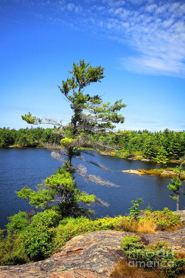 Georgian Bay Photograph - Georgian Bay Pine Tree by Charline Xia